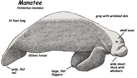 stephan 39 s science page friends seminary licensed for non  : manatee diagram - findchart.co